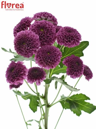 Chrysantéma SAN AAA PURPETTA 110g