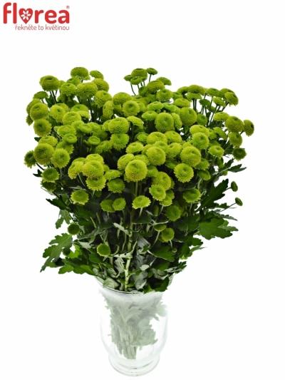 Chrysantéma SAN AAA SPOTIFY 1000g