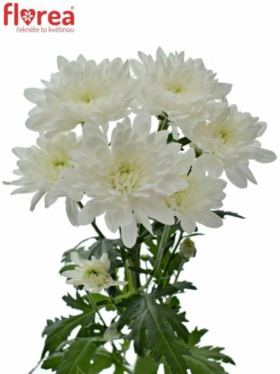 Chrysantéma T AVIATOR 85g