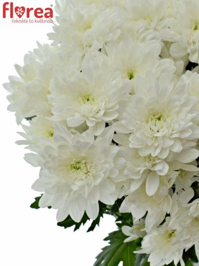 Chrysantéma T AVIATOR 90g
