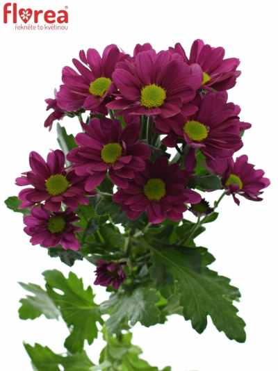 CHRYSANTHEMA T MEMPHIS DARK 85g