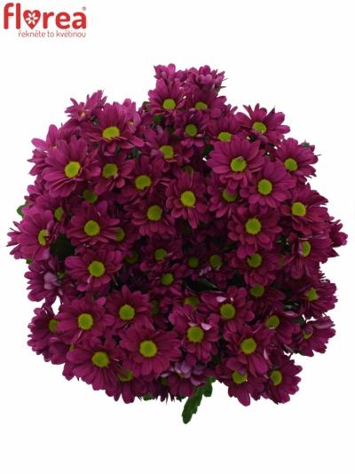 Chrysantéma T MEMPHIS DARK 85g