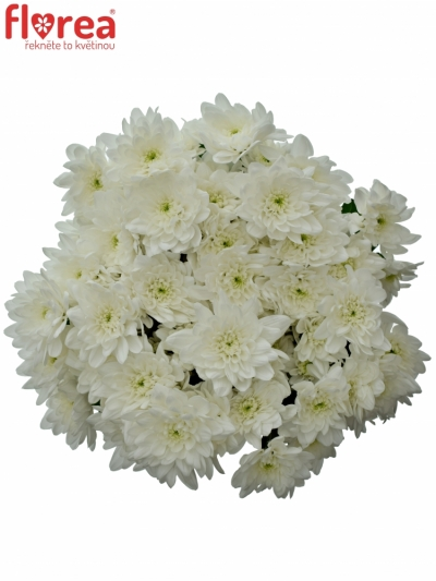Chrysantéma T PINA COLADA 65g