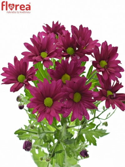 CHRYSANTHEMA T PURPLE STAR 80g