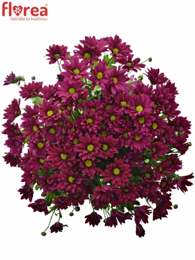 Chrysantéma T PURPLE STAR 95g