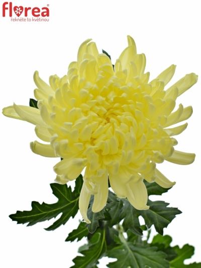 Chryzantéma G GAGARIN LUNAR 85g