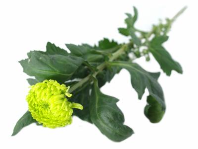 Chryzantema G GLOBE GREEN 80g