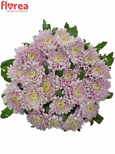 CHRYSANTHEMA G ROSSANO DARK 70g