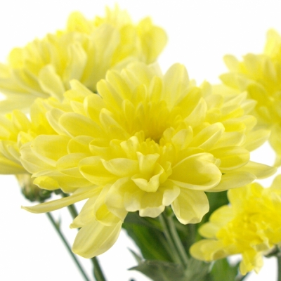 CHRYSANTHEMA G ZEMBLA CREAM