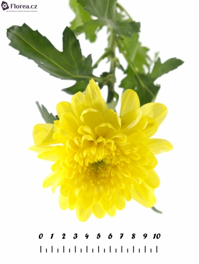 CHRYSANTHEMA G ZEMBLA YELLOW