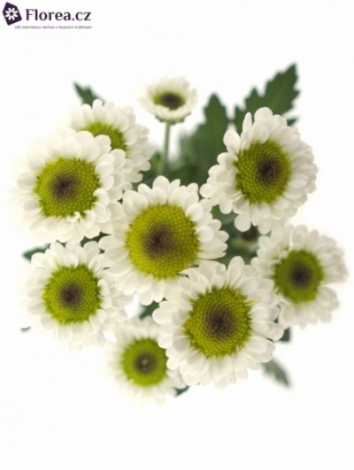 CHRYSANTHEMA SAN BLACK BETTY 1300g