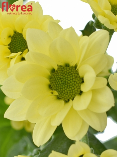 CHRYSANTHEMA SAN BOUNCER CREAM 1200g