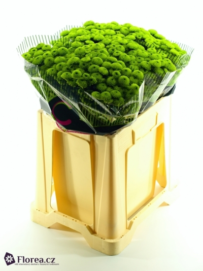 CHRYSANTHEMA SAN COUNTRY 500g