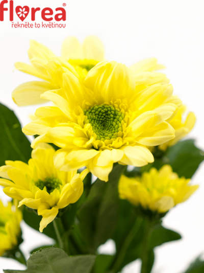 CHRYSANTHEMA SAN JAVA YELLOW