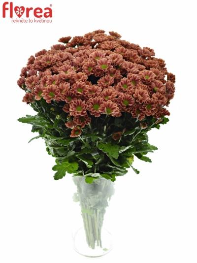 Chrysanthéma SAN LOTTE 1200g