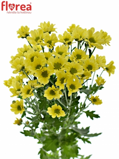 CHRYSANTHEMA SAN MADIBA LINDI YELLOW 950g