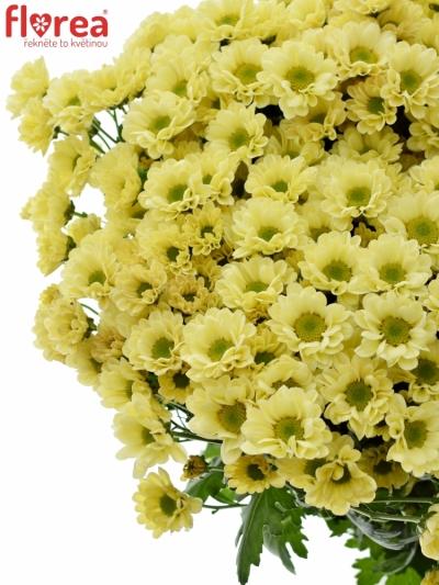 Chrysanthema Santini Madiba Nyaka Cream