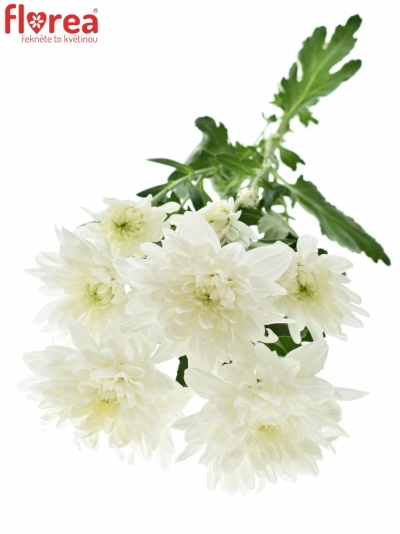 CHRYSANTHEMA T BALTICA