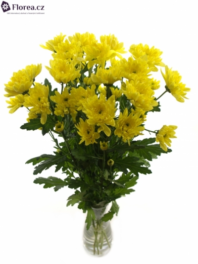 CHRYSANTHEMA T BALTICA YELLOW
