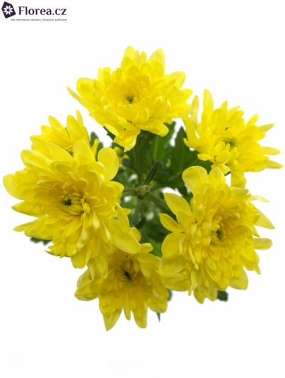 CHRYSANTHEMA T BALTICA YELLOW 90g