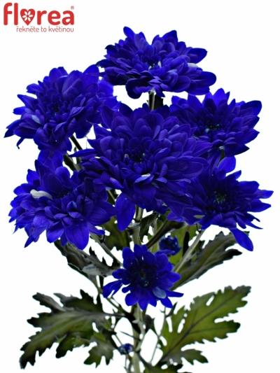 CHRYSANTHEMA T BARV. BACARDI BLUE 80g