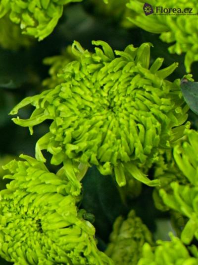 Chryzantema T BOMBER GREEN 70g