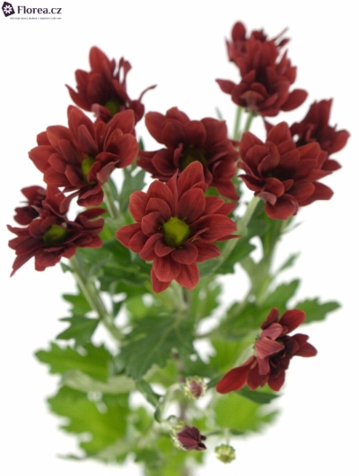 CHRYSANTHEMA T BONTEMPI 85g