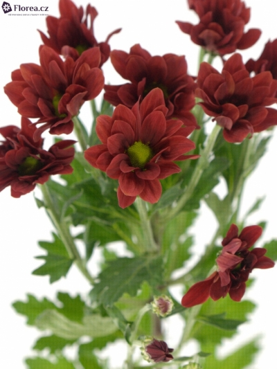 CHRYSANTHEMA T BONTEMPI 65g