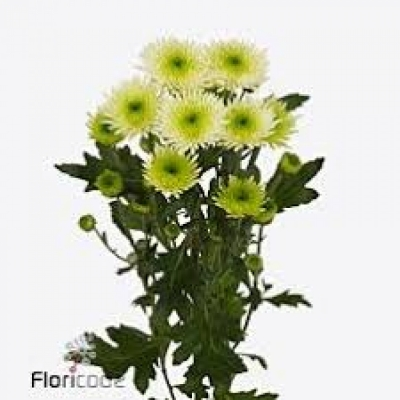 Chrysanthema T COCOON 75g