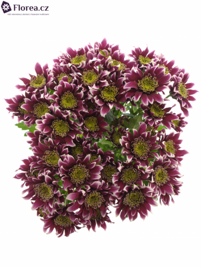CHRYSANTHEMA T DISCO CLUB 75g