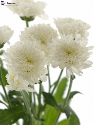 CHRYSANTHEMA T EURO