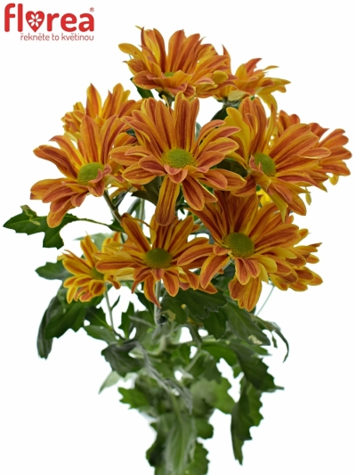 CHRYSANTHEMA T JORDI RED 75g