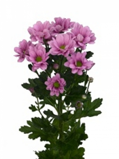 CHRYSANTHEMA T MORRENO PINK 95g