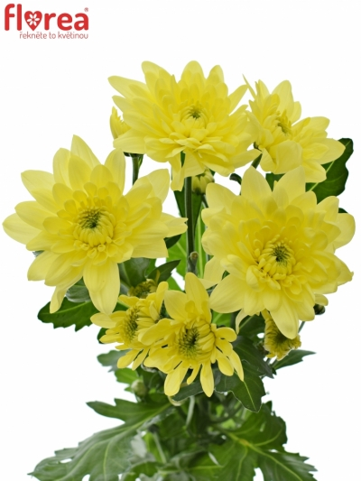 CHRYSANTHEMA T PINA COLADA YELLOW 90g