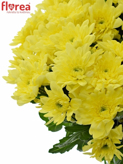 CHRYSANTHEMA T PINA COLADA YELLOW 95g