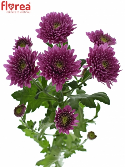 CHRYSANTHEMA T ROMANCE PURPLE 75g