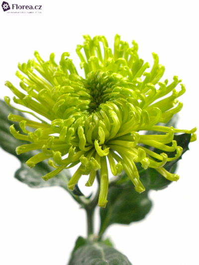 CHRYSANTHEMA G ANASTASIA DARK GREEN 75g
