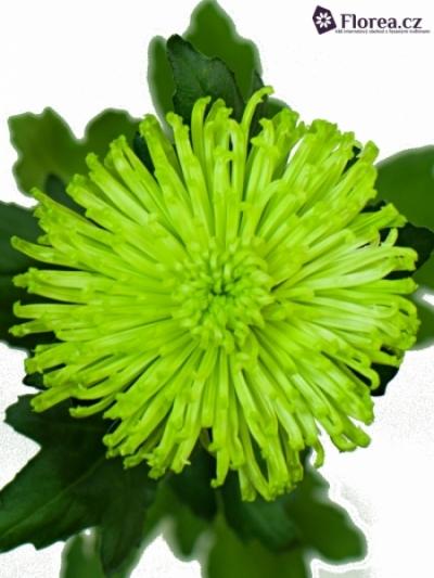 Chryzantema G ANASTASIA GREEN 55g