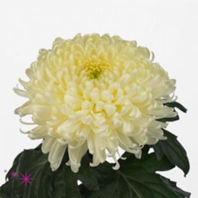 Chryzantéma G BISLET WHITE