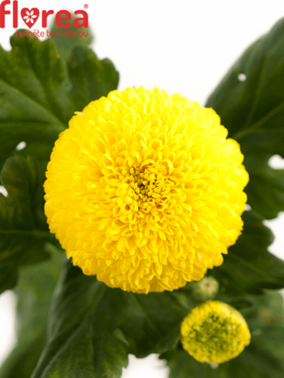 CHRYSANTHEMA G GOLDEN PING PONG 65g