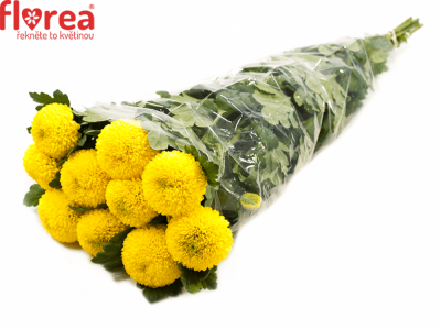 CHRYSANTHEMA G GOLDEN PING PONG 50g