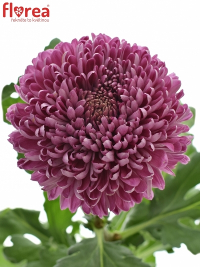 CHRYSANTHEMA G HORNBILL DARK 130g