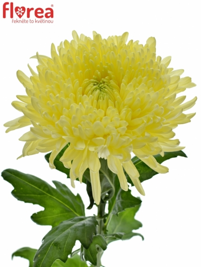 CHRYSANTHEMA G MAGNUM YELLOW 105g
