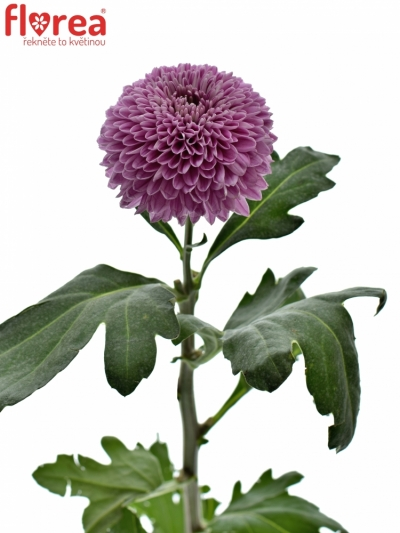 CHRYSANTHEMA G OMSK LILAC 70g