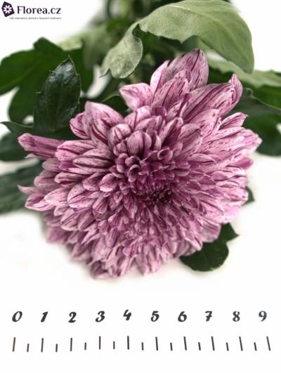CHRYSANTHEMA G PIP 70cm/85g