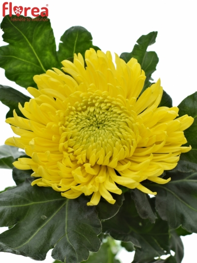 CHRYSANTHEMA G 'PRINCESS ARMGARD YELLOW' 120g