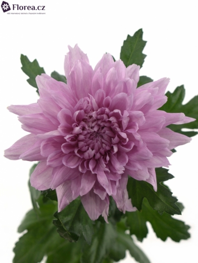 CHRYSANTHEMA G RESOMEE 80g