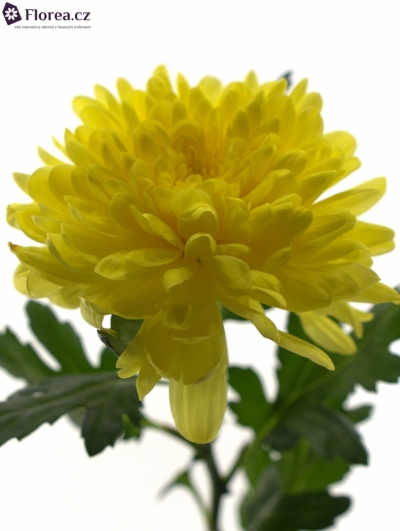 CHRYSANTHEMA G ZEMBLA YELLOW 85g