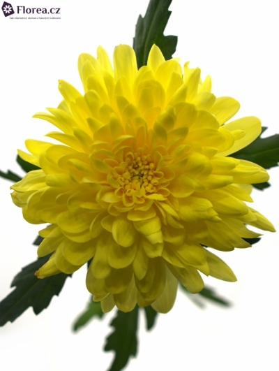 CHRYSANTHEMA G ZEMBLA YELLOW 50g