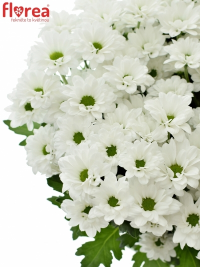 CHRYSANTHEMA SAN BOUNCER 1100g
